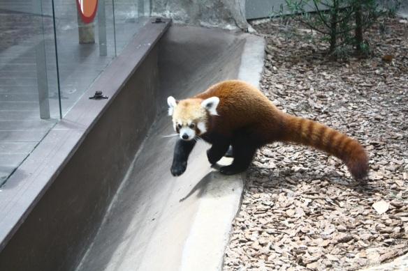 Red Panda Running
